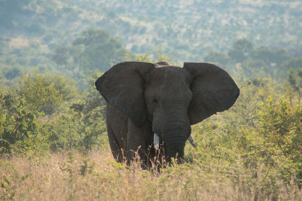Elephant PIlanesberg