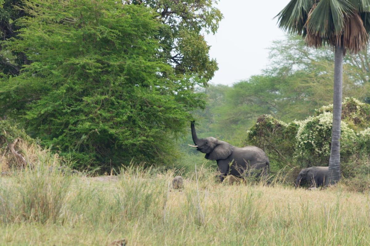 Elephant Liwonde