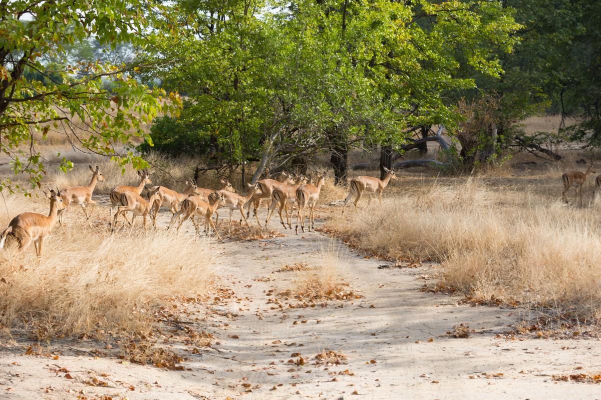 Liwonde Park (Impalas)