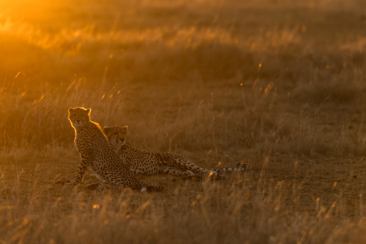 Cheetah golden light