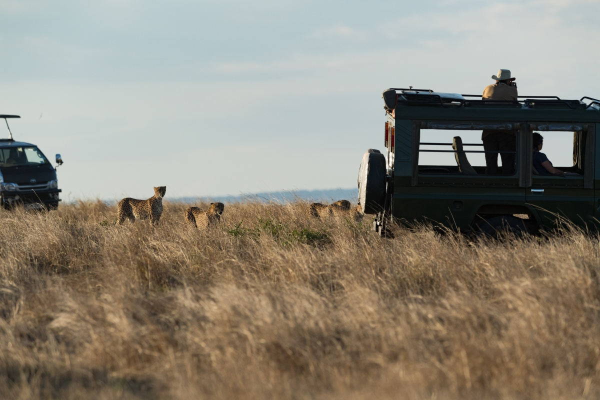Jeep and cheetahs