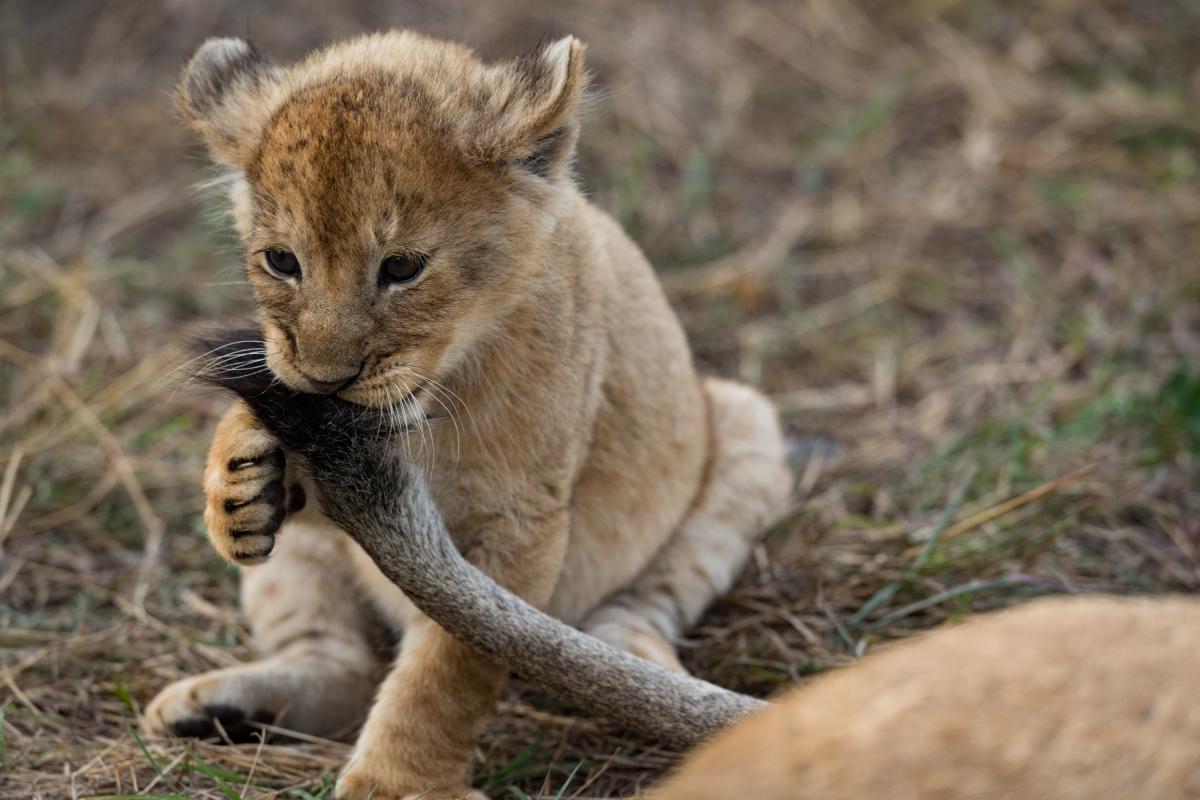 Lion cubs-3