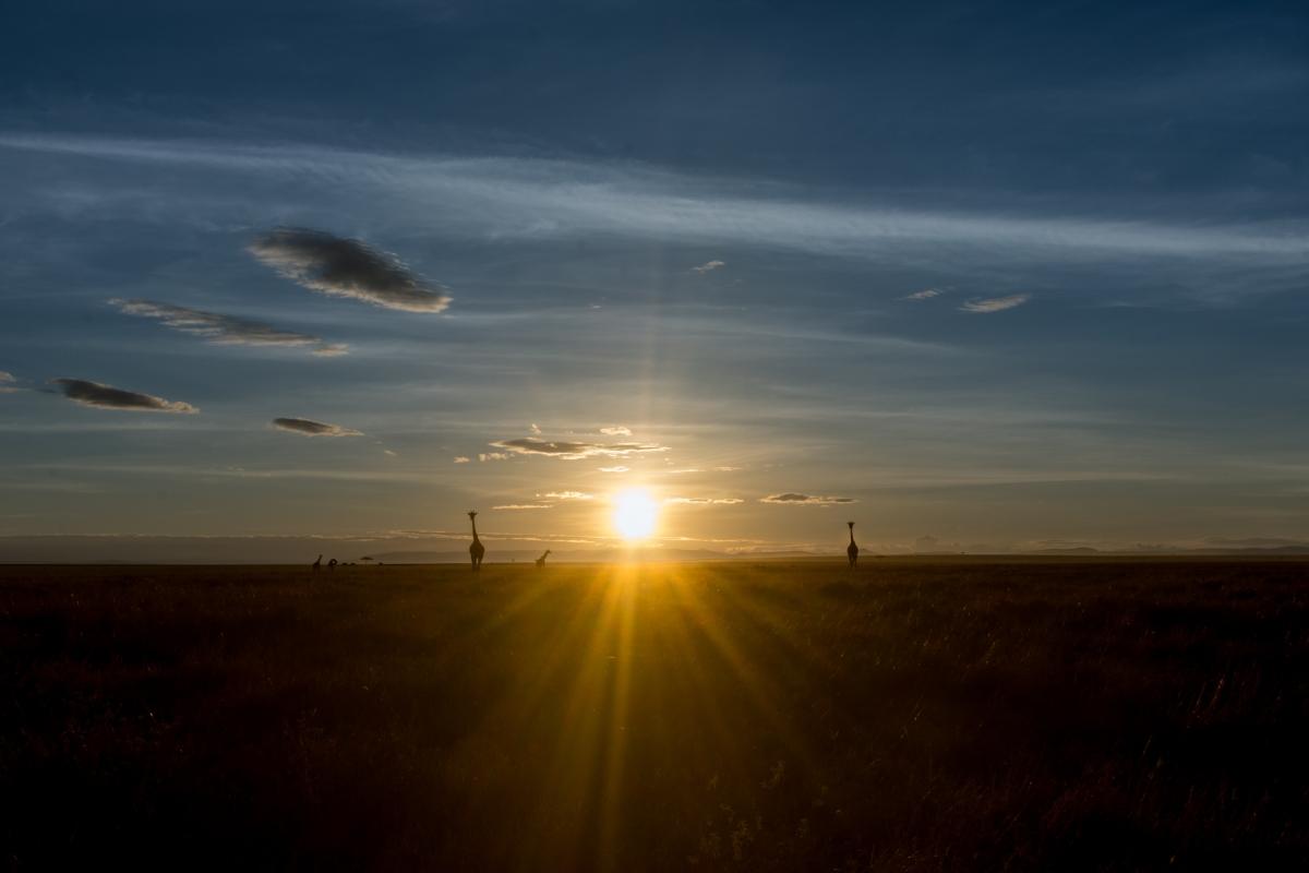 giraffes sunrise 2