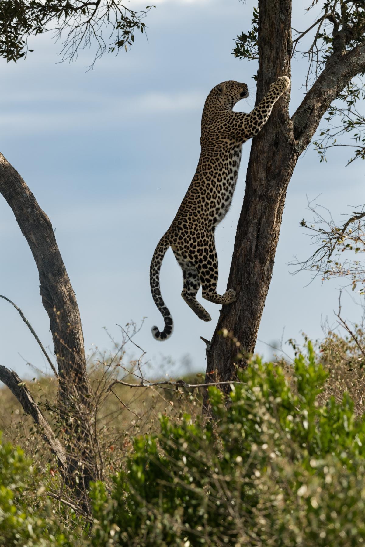 leopard tree-2