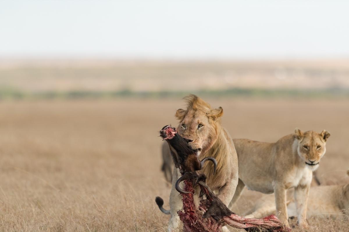 lion kill-2