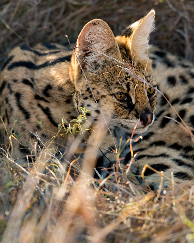 serval-2
